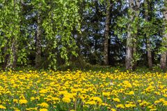 Campo amarelo do dente-de-leão com um fluff branco imagens de stock