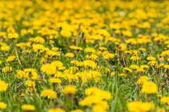 Campo amarelo do dente-de-leão próximo foto de stock royalty free