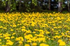 Campo amarelo do dente-de-leão próximo imagem de stock