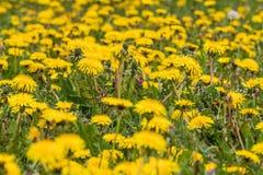 Campo amarelo do dente-de-leão próximo imagem de stock royalty free