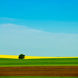Campo amarelo do rapeseed Fotografia de Stock