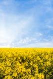 Campo amarelo do rapeseed Fotos de Stock Royalty Free