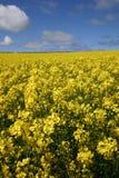 Campo amarelo do rapeseed sob um céu azul brilhante Fotos de Stock Royalty Free