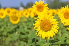 Campo amarelo dos girassóis Foto de Stock
