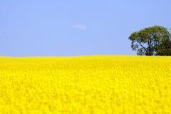 Campo amarelo dourado da violação fotografia de stock