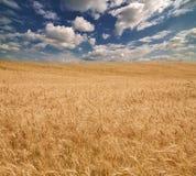Campo amarelo e céu azul com nuvens brancas Imagem de Stock Royalty Free