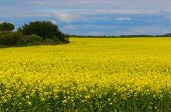 Campo amarillo Imagen de archivo libre de regalías