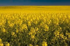 Campo amarillo colorido de la violación floreciente Fotos de archivo libres de regalías