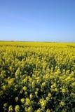 Campo amarillo con el cielo azul imagen de archivo