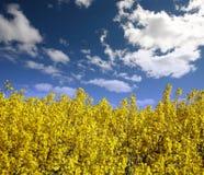 Campo amarillo con la violación de la semilla oleaginosa Imagen de archivo