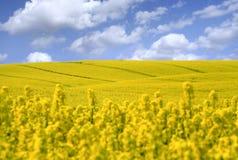 Campo amarillo con la violación de la semilla oleaginosa Foto de archivo libre de regalías