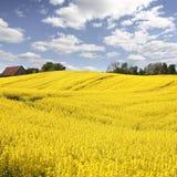 Campo amarillo con la violación de la semilla oleaginosa en resorte temprano Fotos de archivo