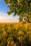 Campo amarillo con un árbol en la puesta del sol de oro Imagen de archivo