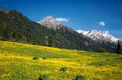 Campo amarillo de flores en las montañas imagenes de archivo