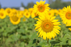 Campo amarillo de girasoles Foto de archivo