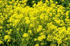 Campo amarillo de la colza Fotografía de archivo