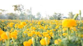 Campo amarillo de la maravilla almacen de metraje de vídeo