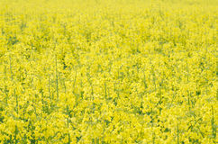 Campo amarillo de la rabina Imagenes de archivo