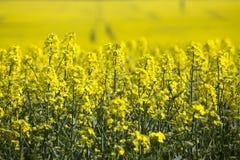 Campo amarillo de la rabina Fotos de archivo