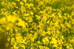Campo amarillo de la rabina con la abeja borrosa del fondo y del vuelo Fotografía de archivo libre de regalías