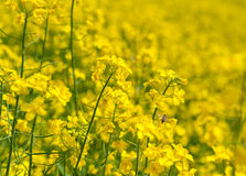 Campo amarillo de la rabina con la abeja borrosa del fondo y del vuelo Imagenes de archivo