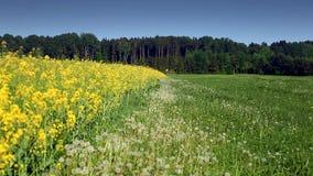 Campo amarillo de la rabina en campo checo metrajes