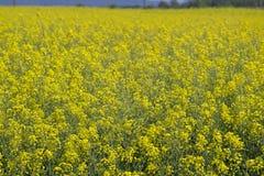 Campo amarillo de la rabina en paisaje de la floración Imágenes de archivo libres de regalías