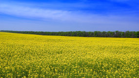 Campo amarillo de la rabina en verano. Foto de archivo