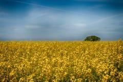 Campo amarillo de la rabina en verano de la primavera Peque?os flores amarillos de la rabina Campo de la rabina canola fotografía de archivo
