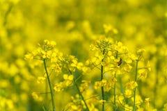 Campo amarillo de la rabina y fondo borroso Abeja macra en el flor Foto de archivo