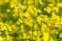 Campo amarillo de la rabina y fondo borroso Abeja macra en el flor Fotografía de archivo libre de regalías