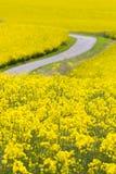 Campo amarillo de la violación de semilla oleaginosa Imágenes de archivo libres de regalías