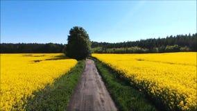 Campo amarillo de la violación de semilla oleaginosa almacen de video