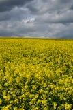 Campo amarillo de la violación de semilla oleaginosa debajo del cielo Foto de archivo libre de regalías