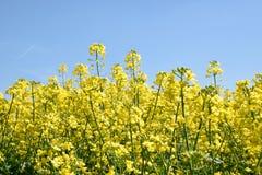 Campo amarillo de la violación de semilla oleaginosa debajo del cielo azul con el sol Fotografía de archivo libre de regalías