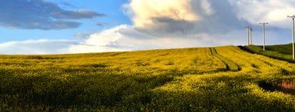 Campo amarillo de la violación de semilla oleaginosa debajo del cielo azul Foto de archivo libre de regalías