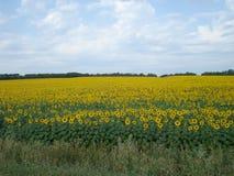 Campo amarillo de los girasoles - flores del sol imagen de archivo