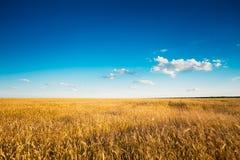 Campo amarillo de los oídos del trigo en Sunny Sky azul Imagen de archivo libre de regalías