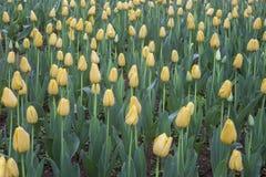 Campo amarillo de los tulipanes Foto de archivo