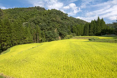 Campo amarillo del arroz Fotografía de archivo libre de regalías