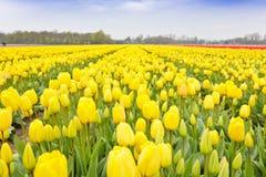 Campo amarillo del bulbo de los tulipanes Fotos de archivo