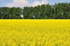 Campo amarillo del canola Imagen de archivo