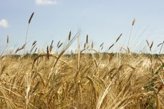 Campo amarillo del cereal foto de archivo libre de regalías