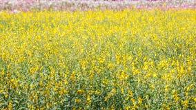 Campo amarillo del flor del cáñamo de CrIndian Imagen de archivo