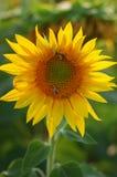 Campo amarillo del girasol con una abeja que poliniza la flor Fotos de archivo