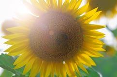 Campo amarillo del girasol con una abeja que poliniza la flor Foto de archivo libre de regalías