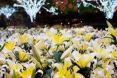 Campo amarillo del lirio y fondo ligero del bokeh Fotos de archivo