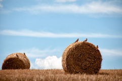 Campo amarillo del trigo con los rodillos del trigo Fotos de archivo libres de regalías