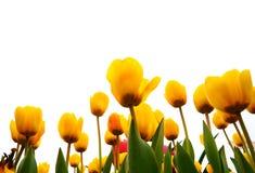 Campo amarillo del tulipán Imágenes de archivo libres de regalías