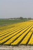 Campo amarillo del tulipán Fotografía de archivo libre de regalías